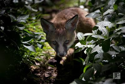 Young fox, Suffolk