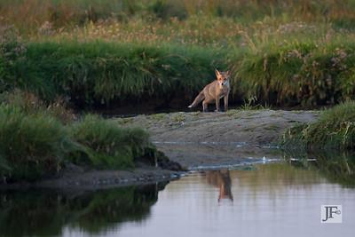 Fox, Hengistbury Head