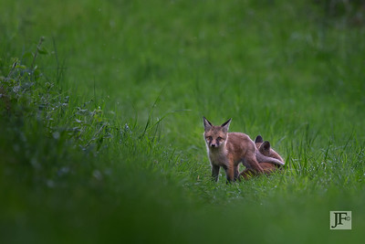 Playing cubs, Suffolk