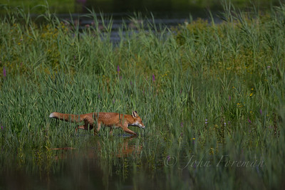 Fox, Lackford Lakes