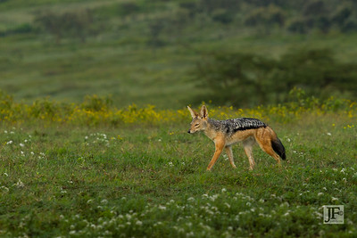 Silver Backed Jackal, Naivasha