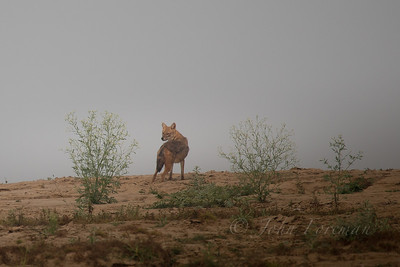 Golden Jackal, Chambal River