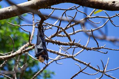 Fruit bat, Chole Island