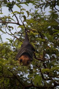 Fruit bat, Chambal