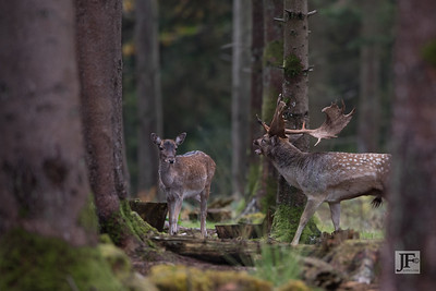 Fallow Buck & Doe, New Forest