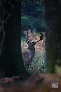 Fallow Buck, New Forest