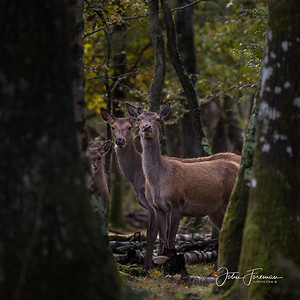 Red Deer, New Forest