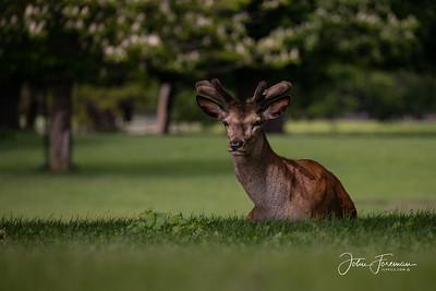 Red Deer, Woburn