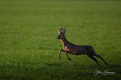 Roe buck, Bicester