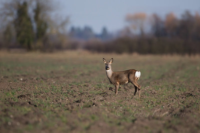 Roe deer, Wicken Fen