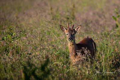 Roe buck, Stour Valley