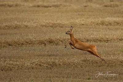 Roe deer, Wiltshire