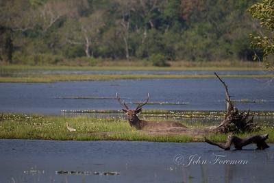 Sambar Deer, Wilpattu