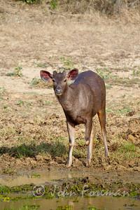 Sambar Deer, Yala