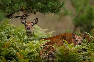 Sika Deer, Arne