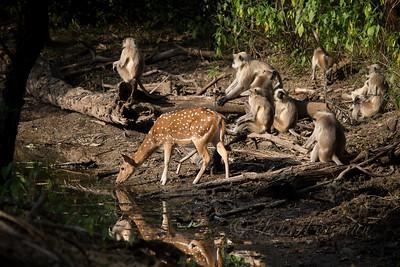 Spotted Deer, Ranthambhore