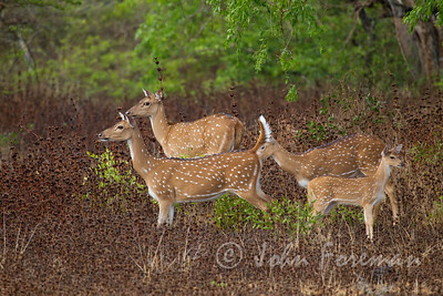 Spotted Deer, Yala
