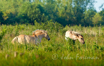 Konik Horses, Wicken Fen