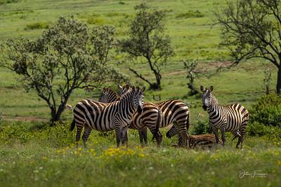 Common Zebra, Naivasha