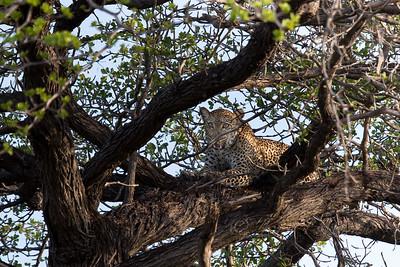 Leopard, Selous