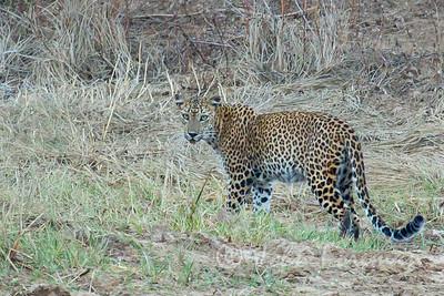 Leopard, Yala