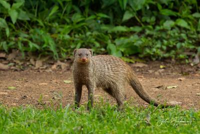 Banded Mongoose, Masai Mara