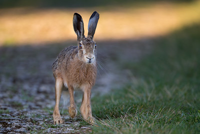 Brown hare, Gers