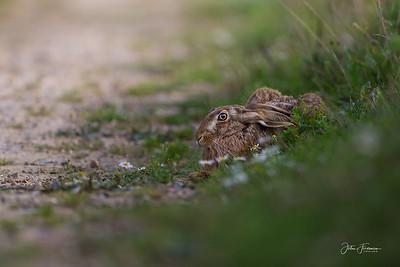 Brown Hare, Suffolk