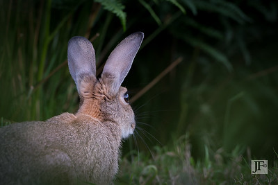 Rabbit, Peak District