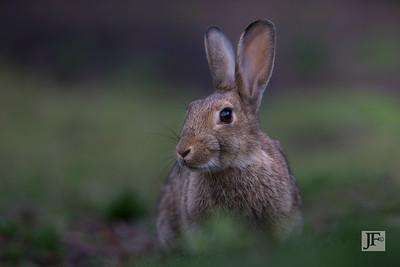 Rabbit, Peak District