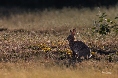 Rabbit, Dorset