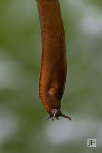 Spanish slug, Gers