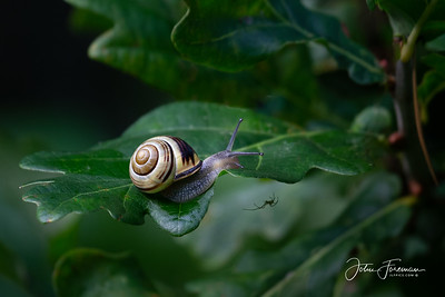 Grove snail, Suffolk