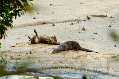 Asian Smooth Otters