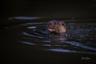 Eurasian Otter, River Stour