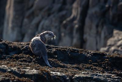 Eurasian Otter, Mull