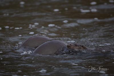 Eurasian Otters, River Stour