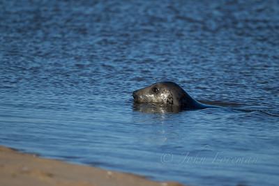 Grey Seal, Holkham