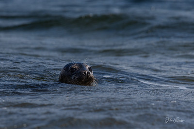 Grey Seal, Inverness