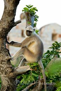 Gray Langur, Jaipur