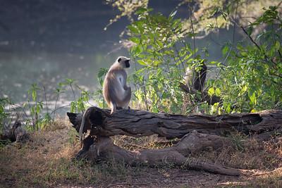 Gray Langurs, Ranthambore