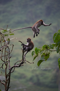Long tailed macaques, West Sumatra