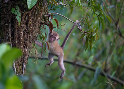Long-tailed Macaque, West Sumatra