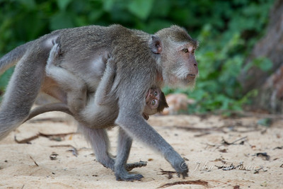Long Tailed Macaques, Lombok
