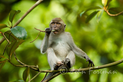 Long tailed Macaque, Buket Timah