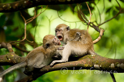 Long tailed Macaques, Buket Timah