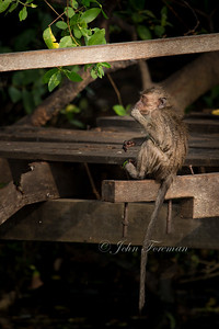 Long tailed macaque, Muara Anke