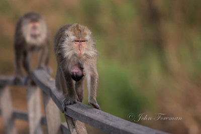 Long tailed macaques, Muara Anke