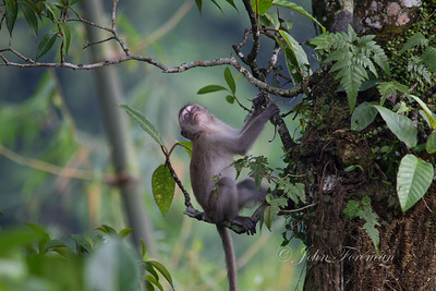 Long tailed macaque, West Sumatra