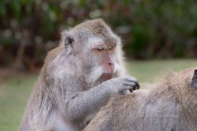 Grey long tailed Macaque, Bali